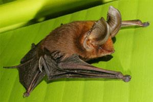 untitled 1 Sucker Footed Bat