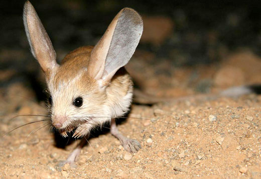 The Jerboa