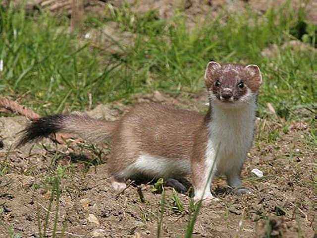 a Stoat in Cheshire