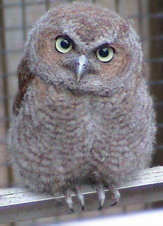 Fledgling Screech Owl