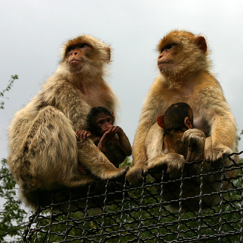 Two Barbary Macaque males with their offsprings
