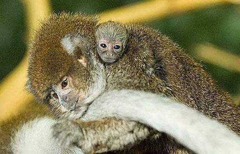 A male Titi monkey with his child