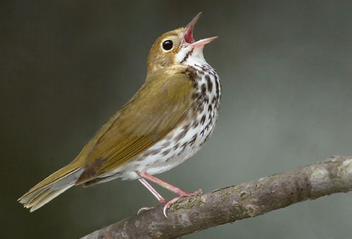A Red Ovenbird singing