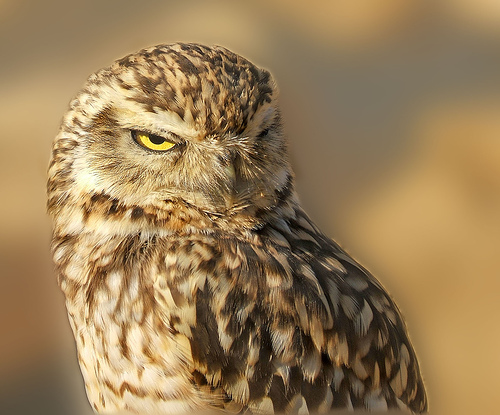 The burrowing owl can be found in North and South America