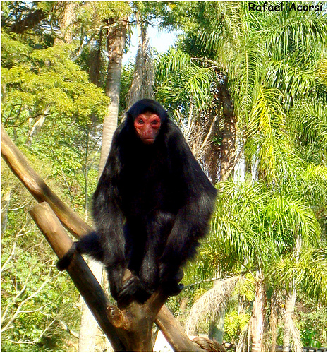 3756255538 1c5a693b5a Red faced Spider Monkey