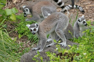 Although very adapted to living in the trees, the Ring-tailed Lemurs often descend to the ground