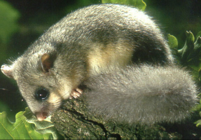 The Edible Dormouse can be recognized by its long, fluffy tail