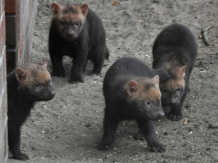 Young Bush Dogs are fairly darker than their parents
