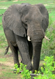 African Elephant Hunted